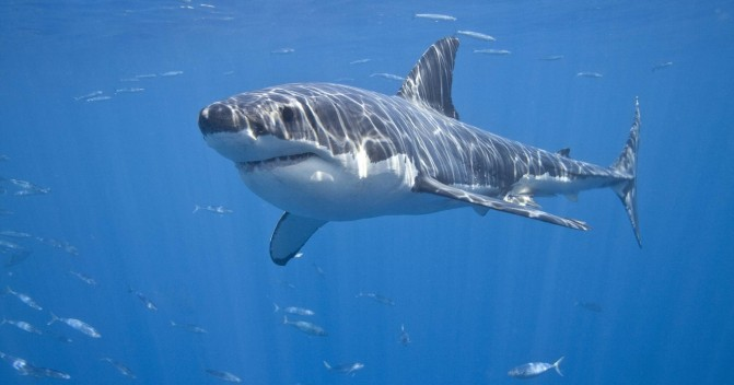 Как выжить при встрече с акулой